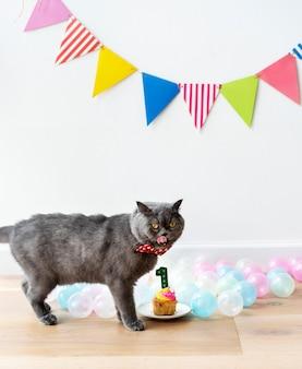 Gato scottish fold celebrando su primer cumpleaños.
