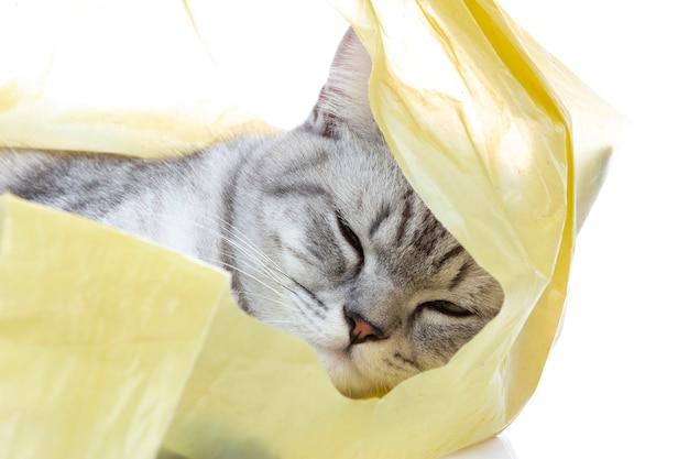 Gato scottish fold duerme en la bolsa de plástico con pelota solo