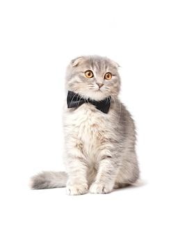 Gato scottish fold con lazo