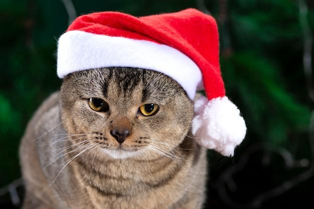 Gato scottish fold con sombrero de santa claus en un abeto verde.