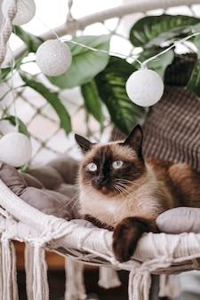 Gato siamés sobre almohadas grises se sienta en una silla