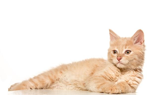 Gato sobre fondo blanco