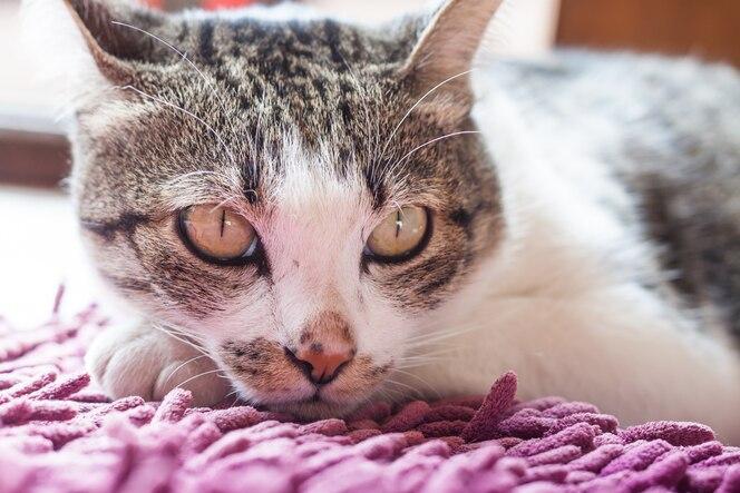 Gato tailandés acostado en casa
