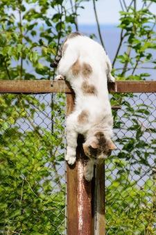 El gato tricolor (blanco, negro y marrón) sin hogar con la nariz rayada. un gato callejero divertido bajando desde lo alto de la valla. descenso vertical. gato en una situación incómoda.