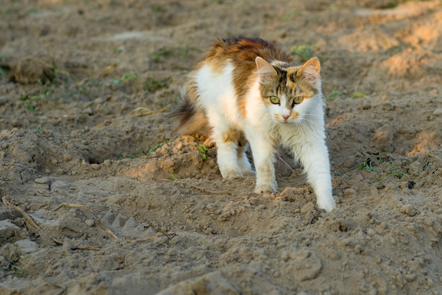 Gato tricolor a la caza en el campo.