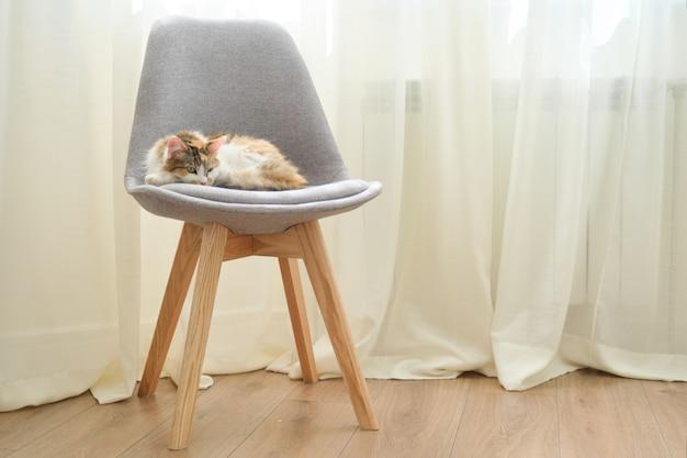 Gato tricolor doméstico durmiendo en una silla cerca de la ventana en la habitación