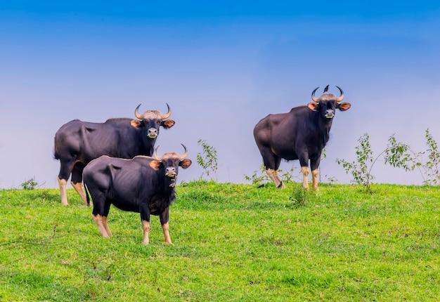 Gaur en la naturaleza (área no de caza, khao phaengma, tailandia)