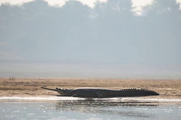 Gavial indio en el hábitat natural santuario del río chambal