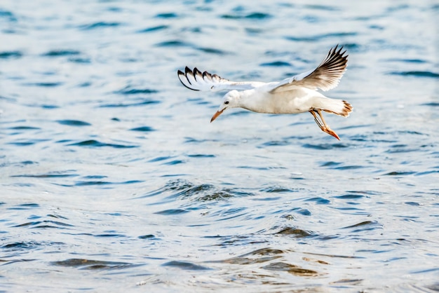 Gaviota de pico delgado sobrevolando el parque natural de la albufera de valencia