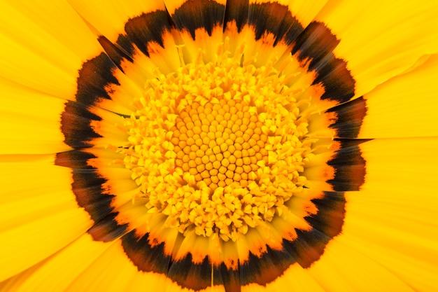 Gazania flor de cerca