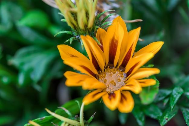 Gazania flores con gotas de rocío en el medio. de cerca. imagen de fondo