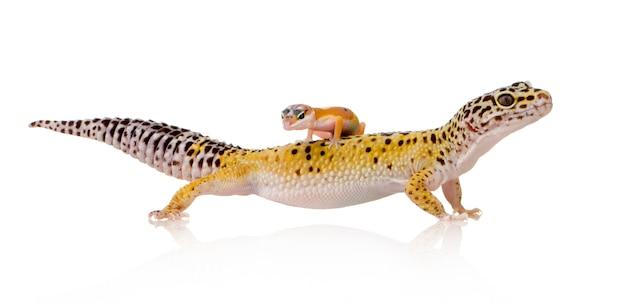 Gecko leopardo en blanco