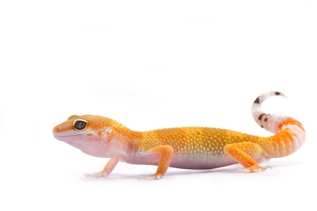 Gecko leopardo sobre fondo blanco