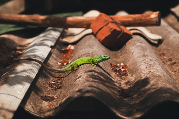 Gecko verde en el techo del zoológico de zurich