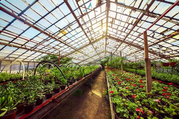 Geranio pelargonium en invernadero del jardín botánico.