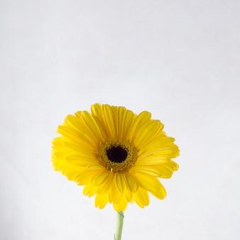 Gerbera amarilla sobre fondo gris