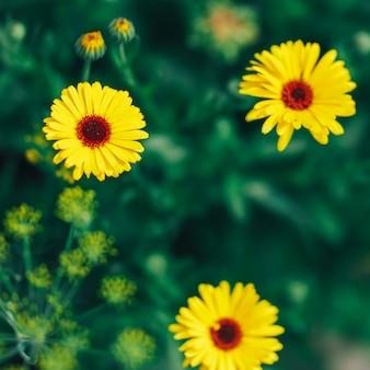 Gerbera amarillo brillante sobre fondo verde en jardín