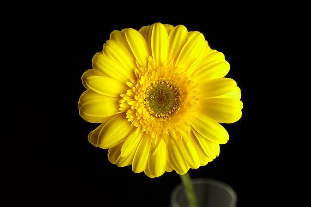 Gerbera flor amarilla, planta con pétalos amarillos en pared negra