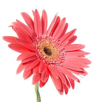Gerbera flor roja aislado sobre fondo blanco.
