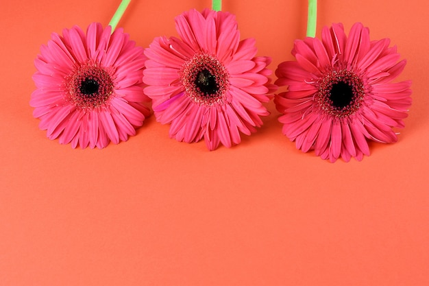 Gerbera hermoso rosado en el primer rojo del fondo. espacio para texto, plano.