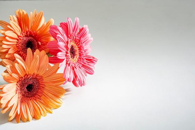El gerbera rosado de la margarita florece en el fondo blanco. primer plano con lugar para el texto.