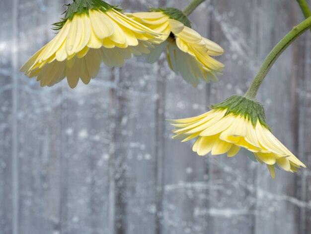 Gerberas amarillas sobre un fondo gris