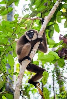 Gibbon está sentado en el árbol. indonesia. la isla de kalimantan. borneo.