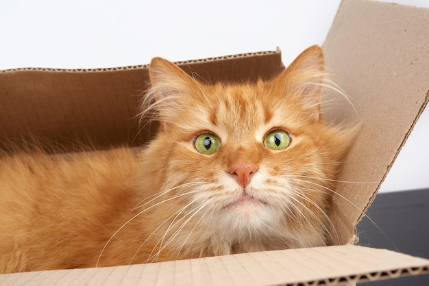 Ginger cat adulto descansando en una caja de cartón marrón, fondo blanco.