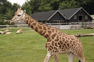 Giraf, mamíferos, zoo