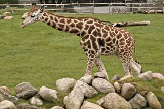 Giraf, mamíferos