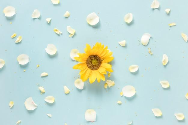 Girasol amarillo rodeado de pétalos blancos sobre superficie azul