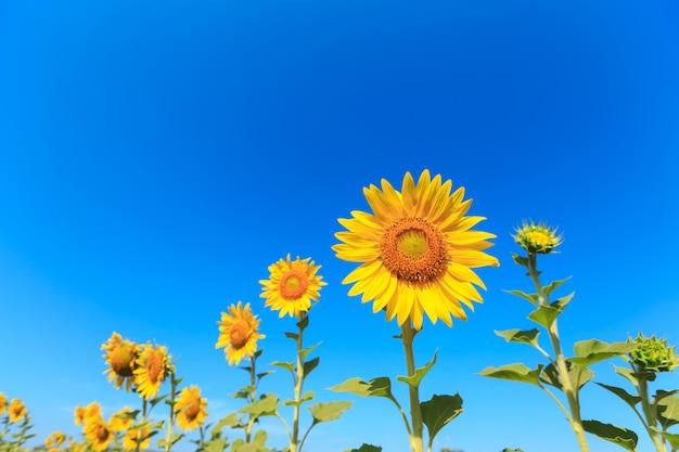Girasol bajo el cielo azul.