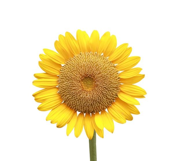 Girasol en flor aislado en blanco y tiene trazados de recorte.