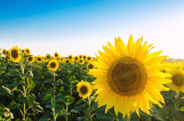 Girasol joven hermoso que crece en un campo en un día soleado. agricultura y ganadería