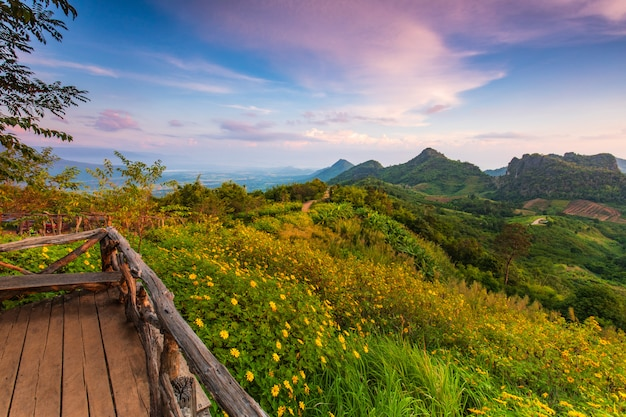 Girasol mexicano, flor hermosa en phu-pa-pao, provincia de loei, tailandia.