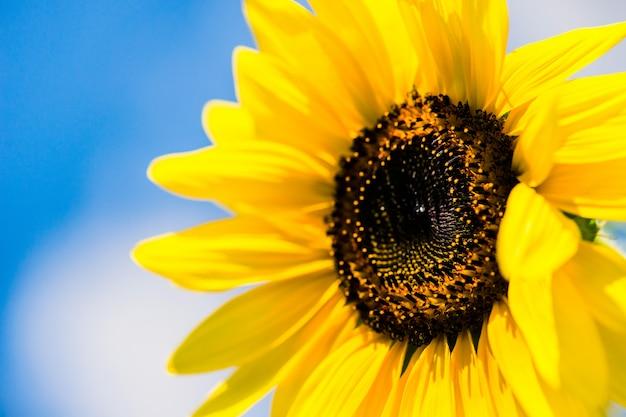 Girasol sobre cielo azul - concepto de buen tiempo de verano soleado día
