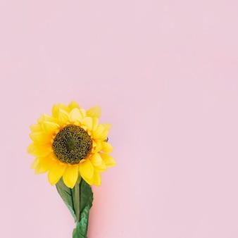 Girasol sobre fondo rosa