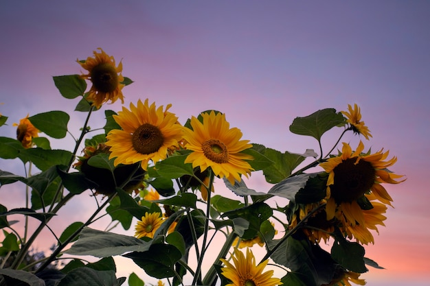 Girasoles amarillos frescos brillantes en el cielo azul con espacio de copia hermosa naturaleza paisaje colorido campo