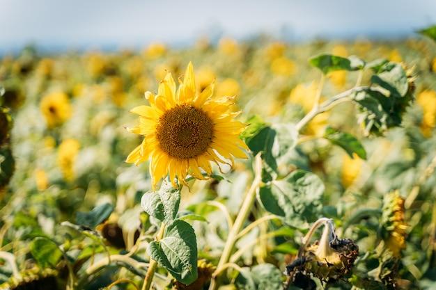 Girasoles amarillos que crecen en el campo,