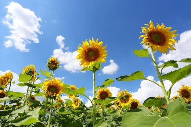Los girasoles están floreciendo y la luz del sol en un día despejado.