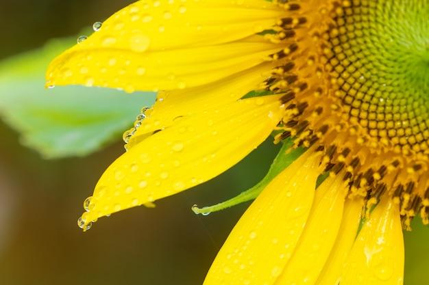 Girasoles hermosos con luz del sol en el jardín del tha.