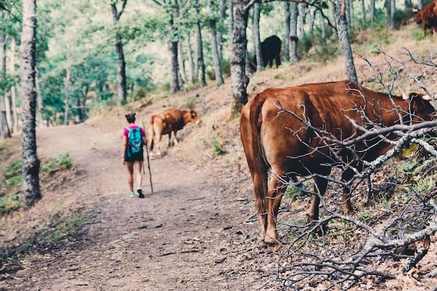Girl scout caminatas y caminatas entre las vacas en el bosque.