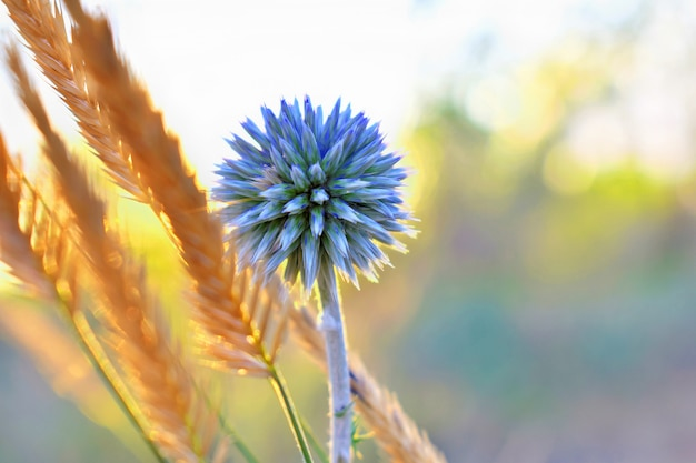 Globe thistle echinops sphaerocephalus cabeza puntiaguda azul de una flor azul en el campo al atardecer en el sol.