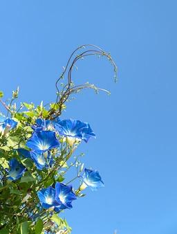 Gloria de mañana flor agente azul cielo