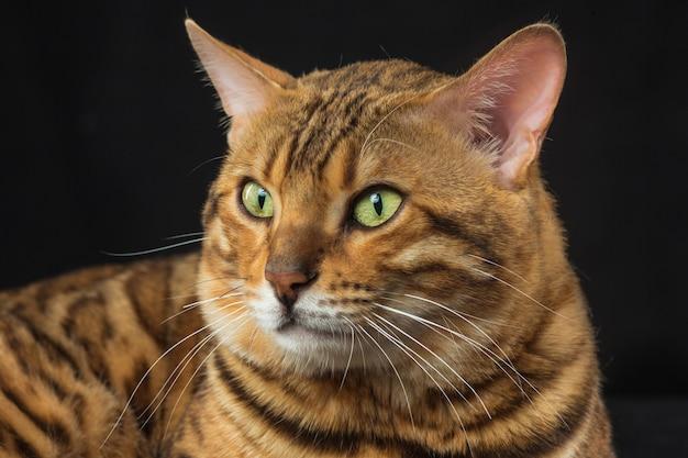 Golden bengal cat en pared negra