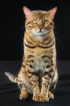 Golden bengal cat en pared negra