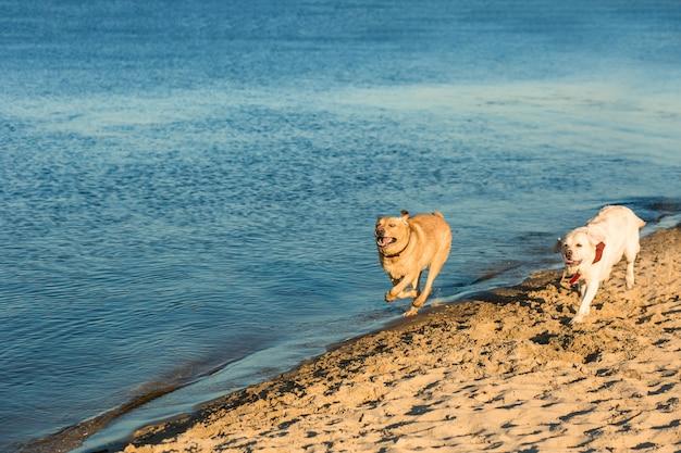 Golden labrador retrievers divirtiéndose corriendo por la playa. dos labradores, amarillos y blancos, corren por la arena junto al río.