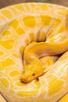 Golden python en el zoológico