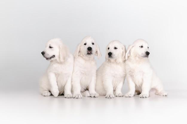 Golden retrievers crema inglesa posando. lindos perritos juguetones o mascotas de raza pura se ven juguetones y lindos aislados en la pared blanca. concepto de movimiento, acción, movimiento, perros y mascotas aman. copyspace.