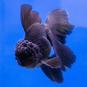 Goldfish en acuario con plantas verdes